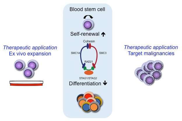 A quartet of genes controls growth of blood stem cells