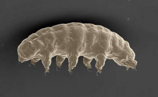 A scanning electron microscope image of the hydrated tardigrade or 'water bear' (Ramazzottius varieornatus), in an image release