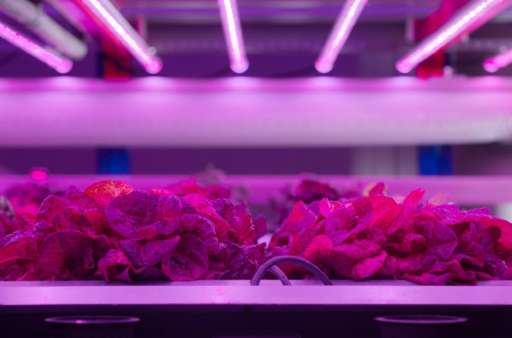As the LED lamps don't heat up, they can be placed close to the plants, allowing for tight layers of plants