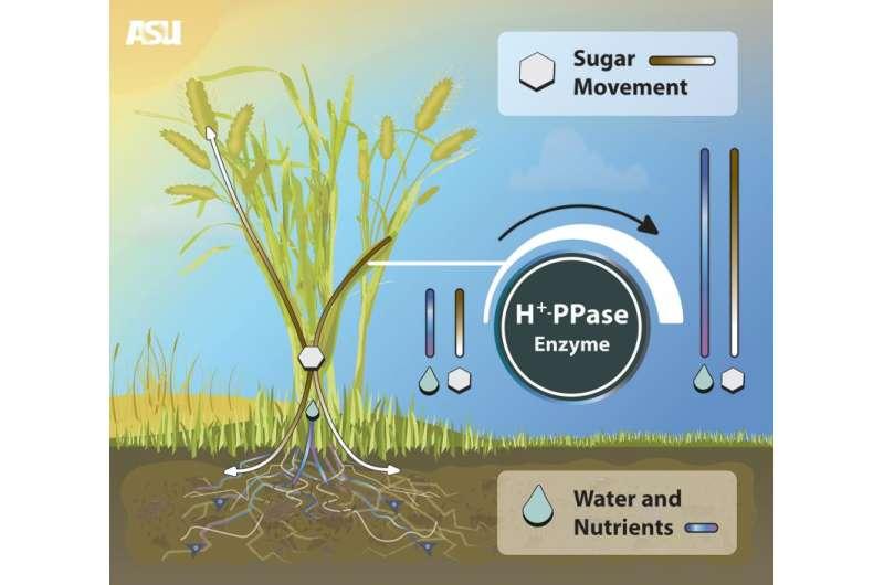 Investigador de ASU mejora el rendimiento de los cultivos con nueva biotecnología