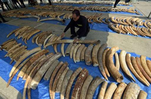 A Thai customs officer inspects confiscated elephant tusks during a press conference at the Customs Bureau in Bangkok on April 2