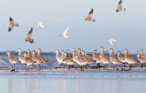 Australia's coastal and freshwater wetlands are a resting and feeding zone for the migratory shorebirds—with some travelling up