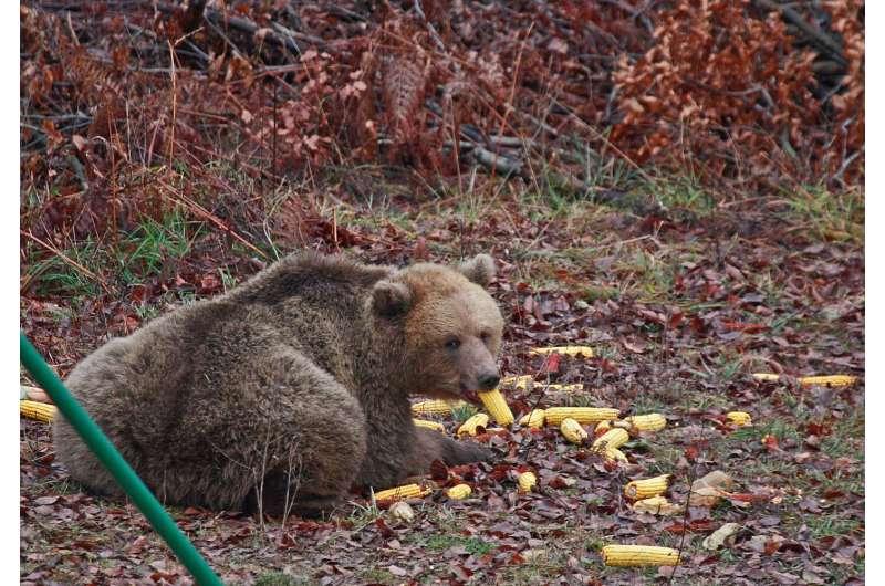 Availability of human food shortens and disrupts bears' hibernation