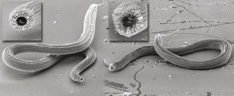 A worm with five faces