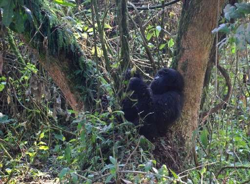 A young mountain gorilla is pictured in 2015 in the jungle at Bukima in Virunga National Park, eastern Democratic Republic of Co