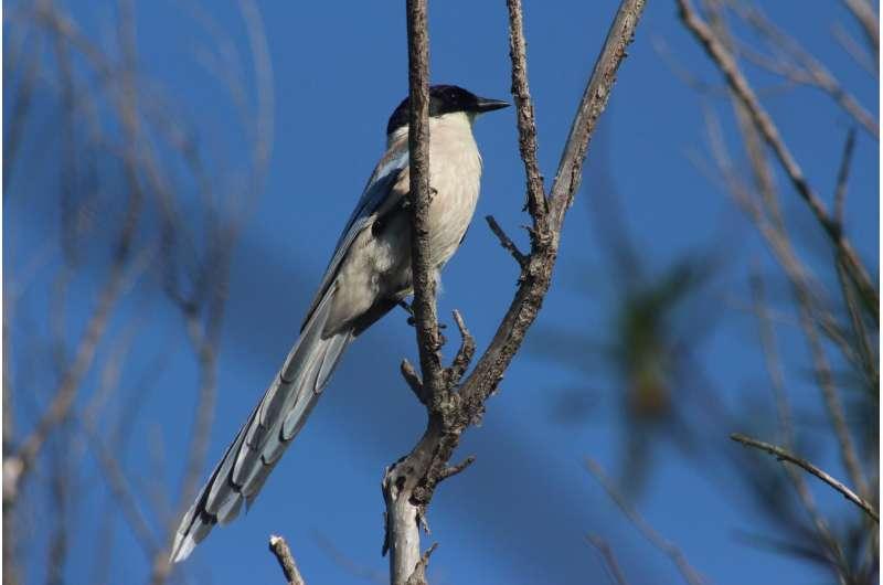 Azure-winged magpies show human-like generosity