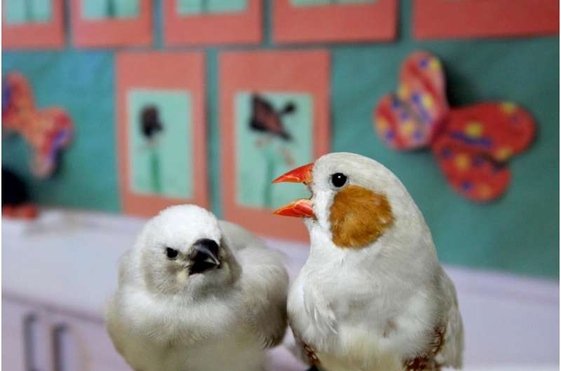 'Baby talk' can help songbirds learn their tunes