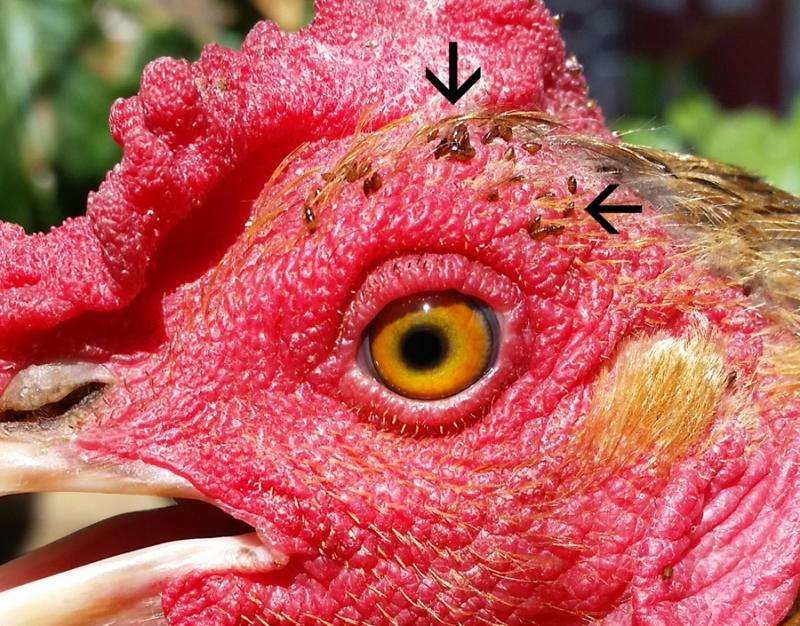 Backyard chickens harbor greater diversity of ticks, mites, and lice than farm-raised chickens