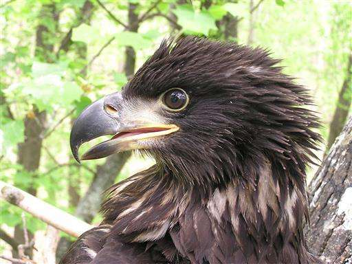 Bald eagles making strong recovery in Virginia