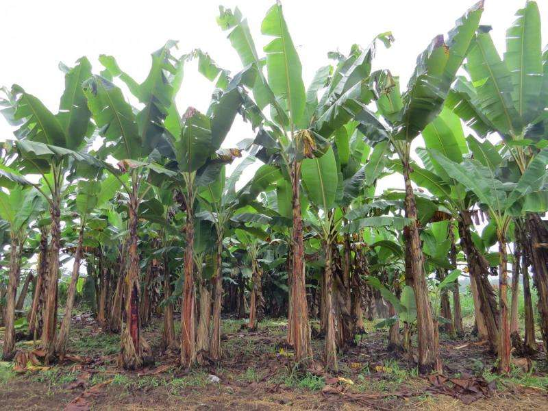 Banana waste as a source of bioenergy