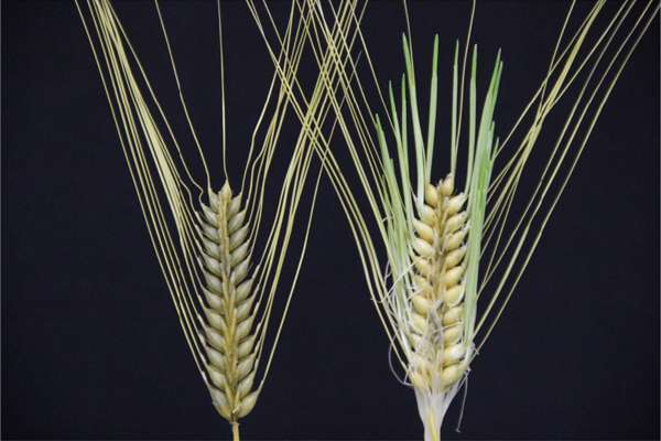 Barley dormancy mutation suggests beer motivated early farmers