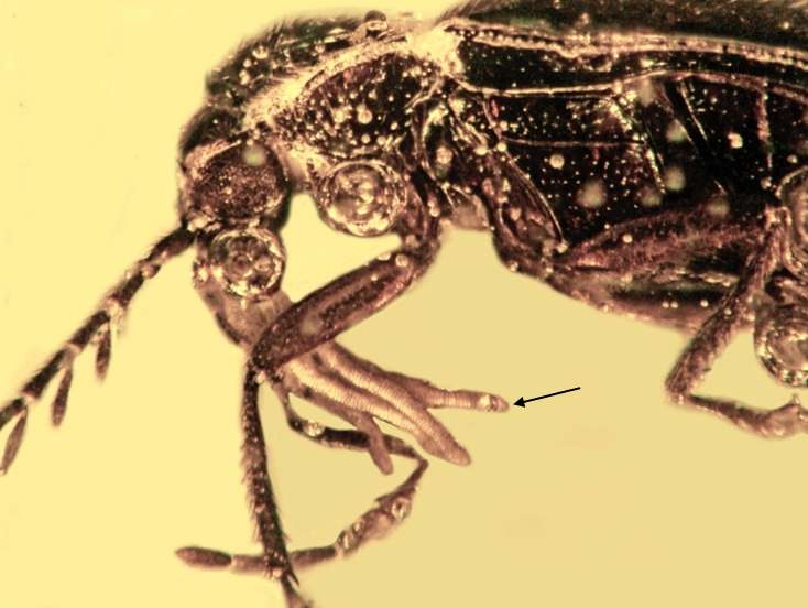 Beetles pollinated orchids millions of year ago, fossil evidence shows