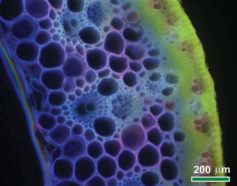 Better understanding could lead to more cost-effective production of cellulosic biofuels