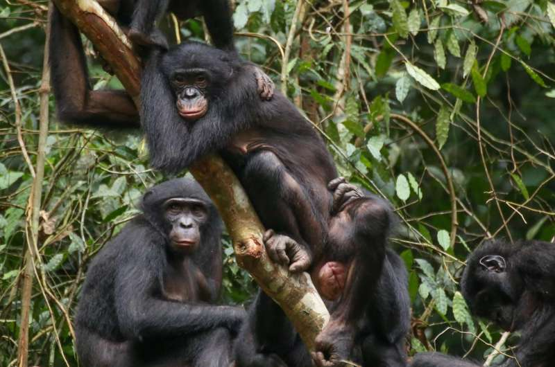 'Big mama' bonobos help younger females stand up for themselves
