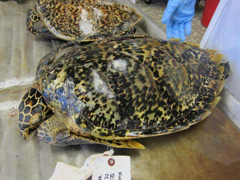 Biological 'clock' discovered in sea turtle shells