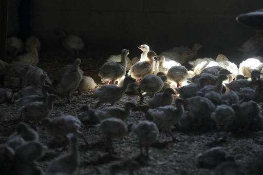 Biologist: Rabbits and skunks can pass bird flu to ducks