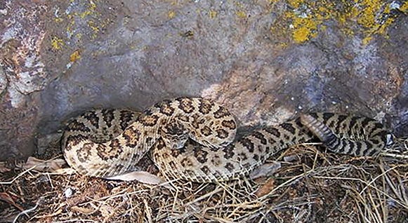Biologists identify six new unique species of the western rattlesnake