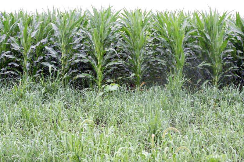 Biomass producers can bring in cash while establishing switchgrass