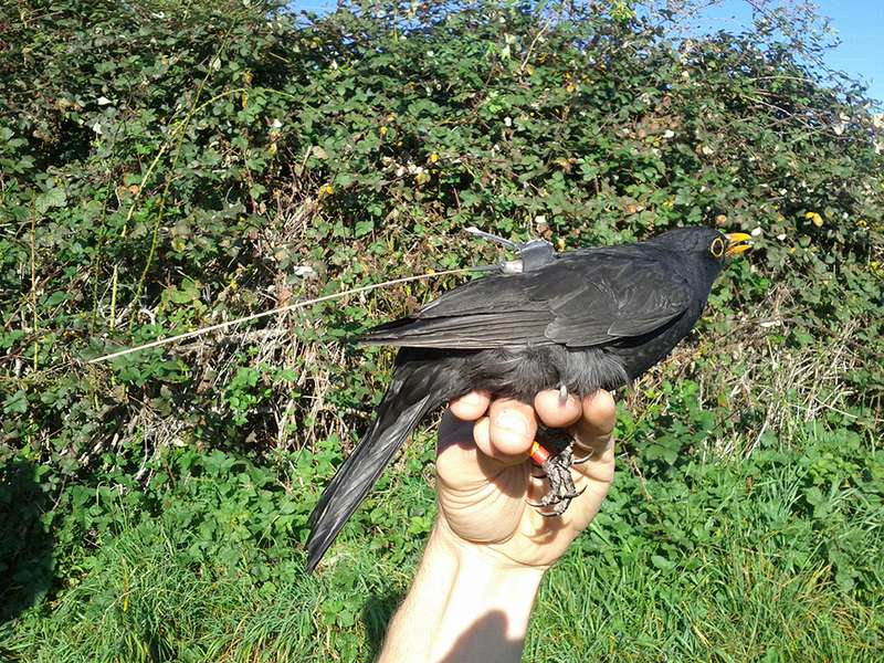 Blackbirds switch abruptly to fly-by-night behaviour at migration time
