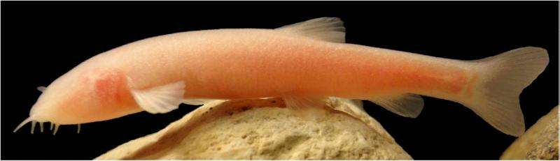 Blind species of fish discovered by chance in Kurdistan