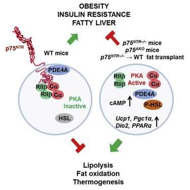 Brain receptor regulates fat burning in cells