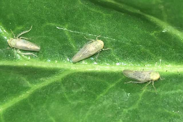 Breeding sugar beets for better resistance to curly top virus