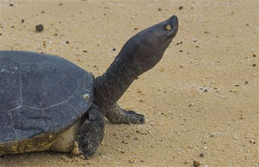 Cambodian Royal Turtle nearly extinct -- less than 10 in wild