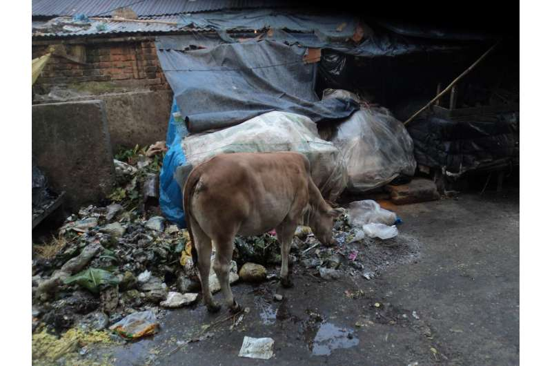 Cattle roaming freely on Bangladesh streets increase health and environmental hazards