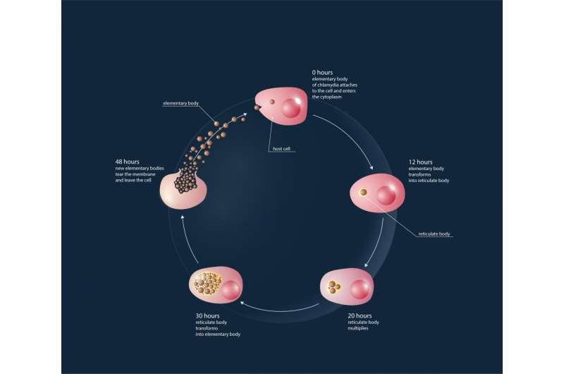 Chlamydia lifecycle