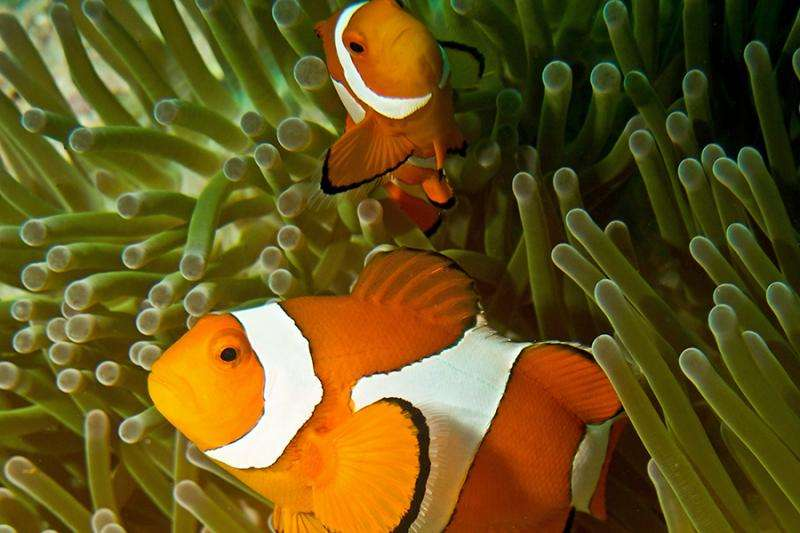 Clownfish share their sea anemone homes when space is limited