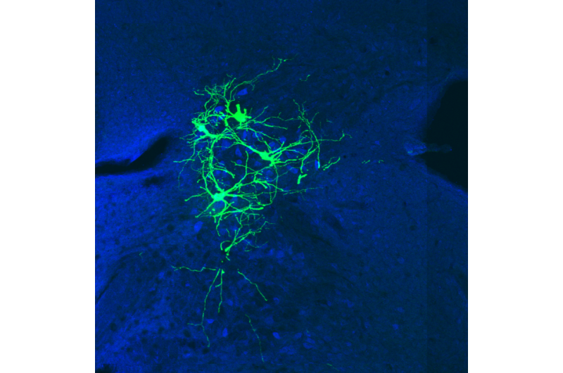 Columbia neuroscientists develop new tools to safely trace brain circuits
