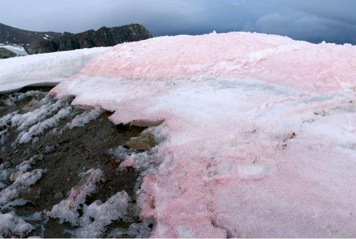 Cosmopolitan snow algae accelerate the melting of Arctic glaciers