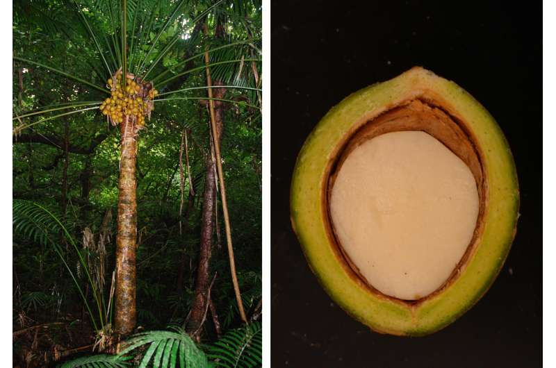 Cycad seed tissue loaded with carbohydrates