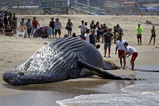 Dead whale towed off Los Angeles beach ahead of holiday