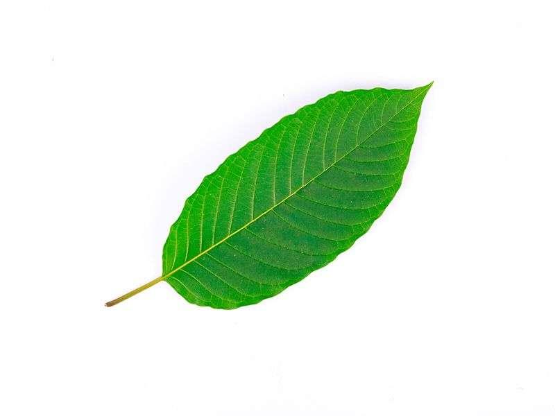 DEA halts move to ban controversial herbal kratom
