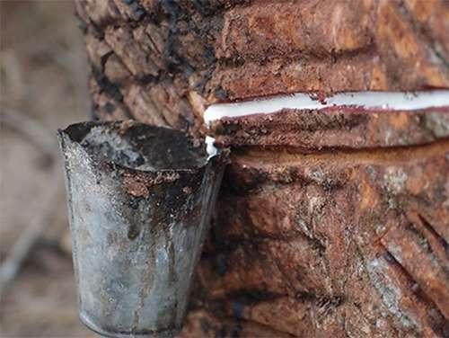 Decoding the rubber tree genome