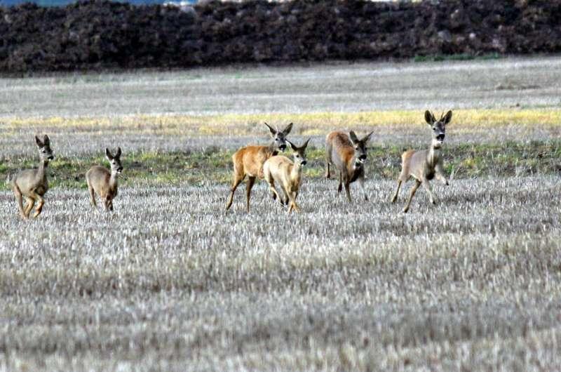 Deer make collision-free escapes thanks to inbuilt 'compasses'