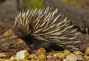 Digging echidnas are essential Australian ecosystem engineers