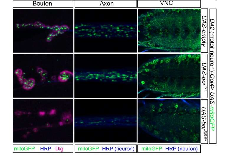 Distinct neurological syndromes can be the result of variations in gene ATAD3A