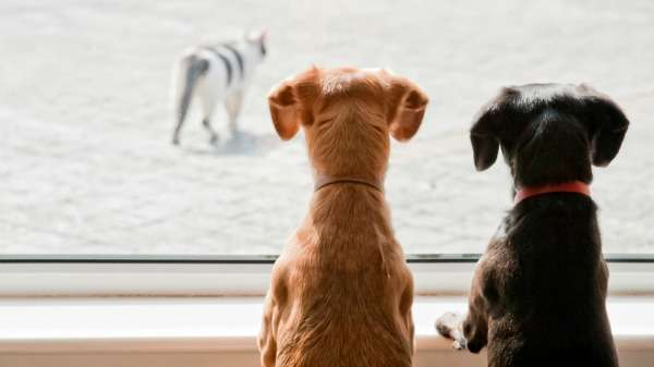 Dogs chase cats in the name of science