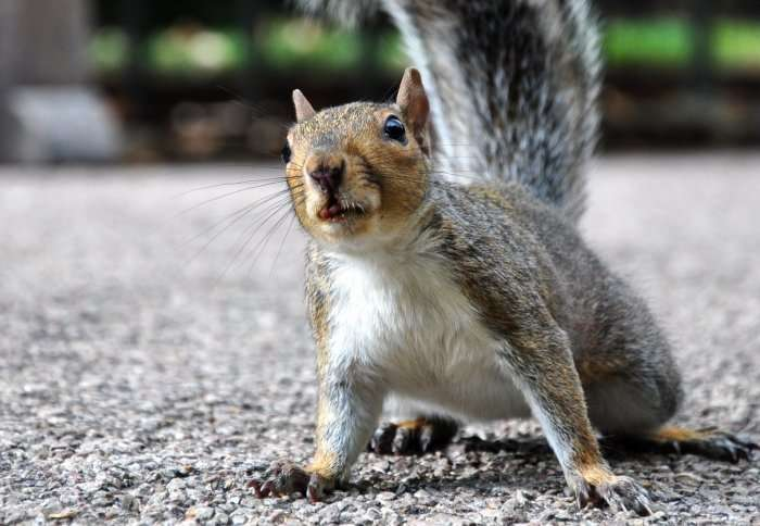 Don't blame grey squirrels: Their British invasion had much more to do with us