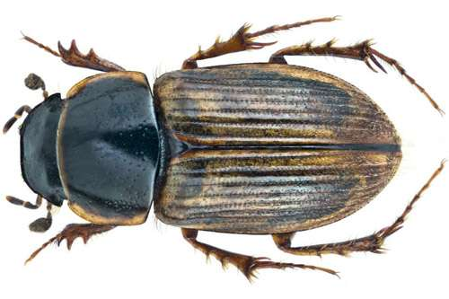Dung beetles found to reduce survival of livestock parasites