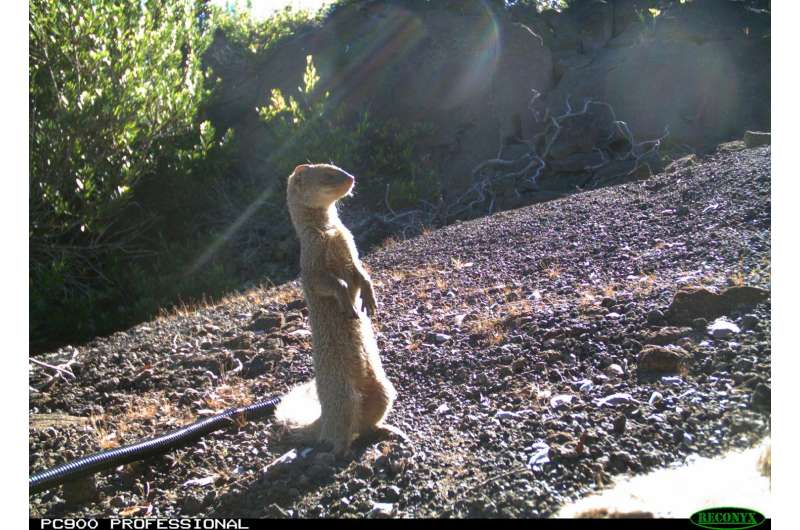 Eat and be eaten: Invasive scavengers in Hawaii alter island nutrient cycle