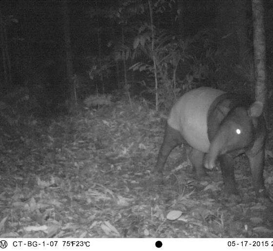 Endangered tapir photographed in Batang Gadis National Park Area, North Sumatra