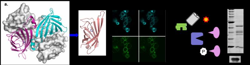 Engineered monomeric streptavidin