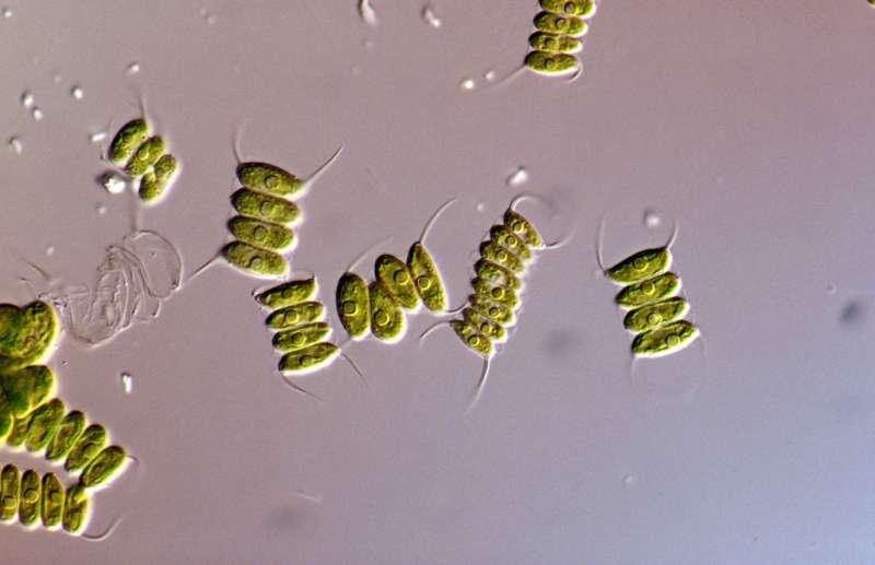 Engineers produce biodiesel from microalgae in three hours