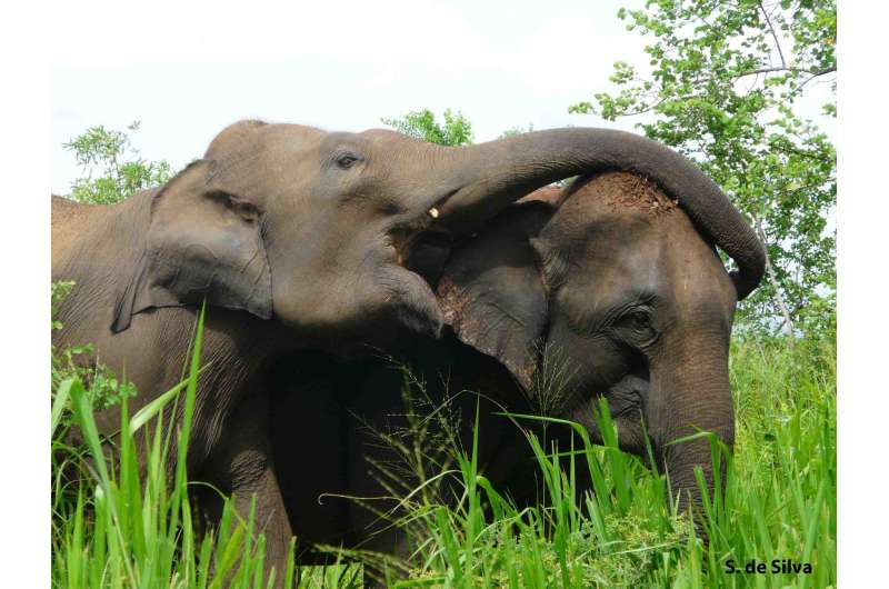 Equality, more than dominance, defines Asian elephant society
