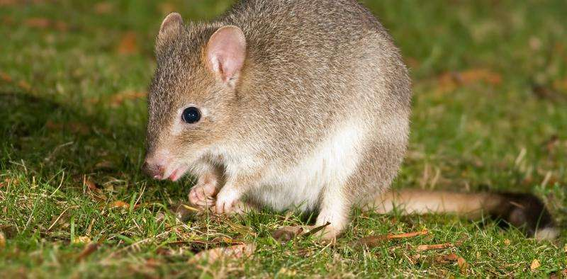 Extinction means more than a loss of species to Australia's delicate ecosystems