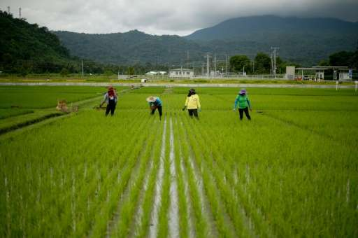 Farmers work in a rice field near the International Rice Research Institute in Laguna, Philippines