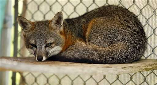 Feds: Remove 3 California foxes from endangered species list